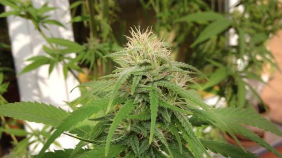 Cannabis on the balcony
