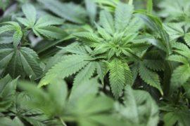 5007642_6_26c2_plants-de-cannabis_d0799e002e7d16904a13eff6eeafcb29